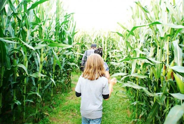 Make your way through the 10-acre corn maze at Alstede Farms. Photo courtesy of the farm