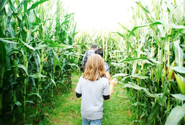 Make your way through the 10-acre corn maze at Alstede Farms. Photo courtesy of the farm