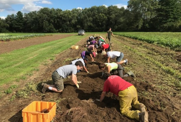 Getting down and dirty to harvest difficult sweet potatoes at the Great Root Vegetable Harvest. Photo courtesy of Drumlin Farm