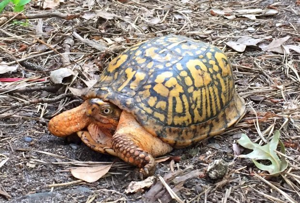 Learn about and meet the resident turtles during the World Turtle Day celebration at Quogue Wildlife Refuge. Photo courtesy of the refuge