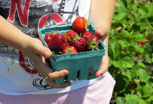 Pick and enjoy succulent strawberries  at Garden of Eve Organic Farm. Photo courtesy of the farm.