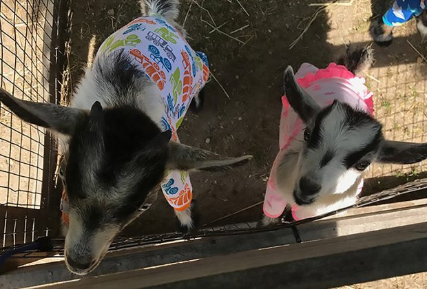Come play with the kid goats at the Long Island Game Farm's pajama party. Photo courtesy of the game farm