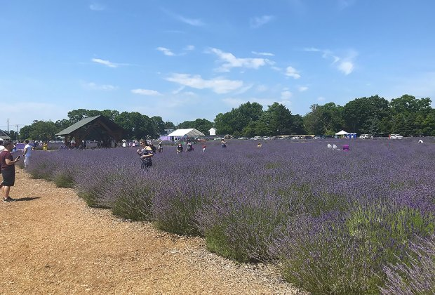For three weeks, normally green East Marion, on the North Fork, turns lavender purple.