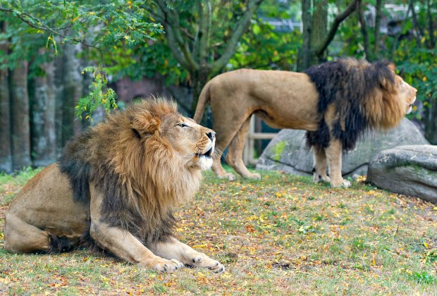 Franklin Park Zoo celebrates lion weekend - visit the Kalahari Kingdom to see the African lion brothers, Dinari & Kamaia. Photo by Eric Kilby/Flickr