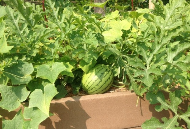 Watermelons on the way at the Urban Farm