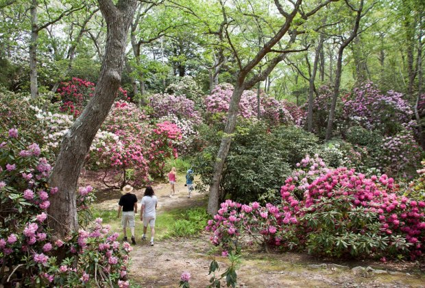 Wander among the rhodies at Heritage Museum & Gardens. Photo courtesy of Massachusetts Office of Tourism