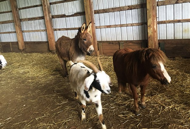 Friendly farm animals at Holland Ridge Farms