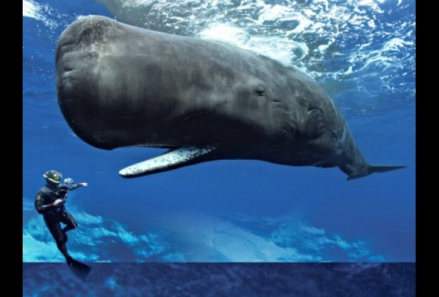 Sperm whale and diver at AMNH's Whales: Giant of the Deep; photo: Brandon Cole, Romeo/V&W
