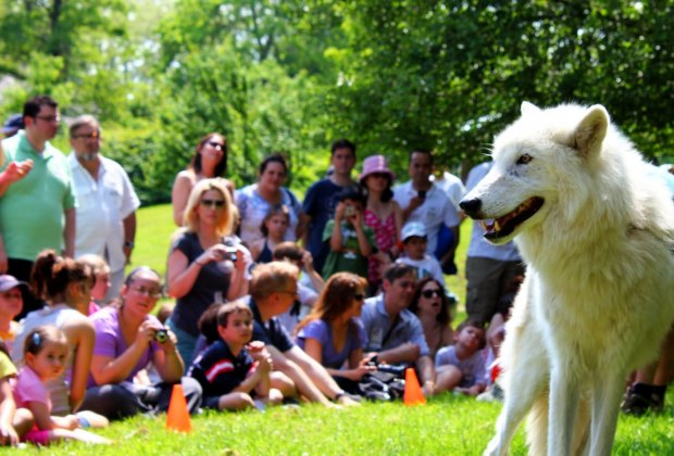 Atka the wolf at Animals and Acrobats - Van Cortlandt Manor