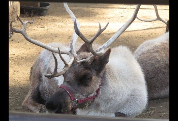 Santa's reserve reindeer