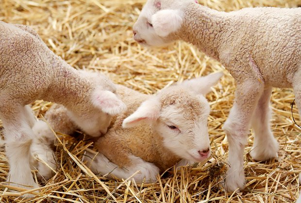 Spring brings the arrival of lambs at the Stone Barns Center.