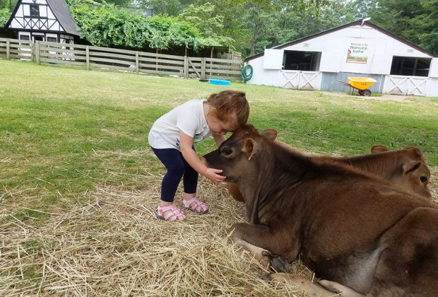 Meet a cow at the Long Island Game Farm. All photos courtesy of the farms unless otherwise noted.