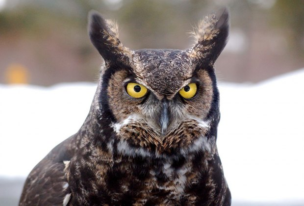 Learn about the owls that live among us at the South Fork Natural History Museum. Photo courtesy of the museum