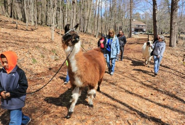 Take a llama for a walk! Photo courtesy of the White Memorial Conservation Center