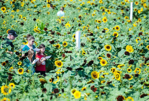 Get lost in the sunflower maze at Lyman Orchards. Photo courtesy of the orchard
