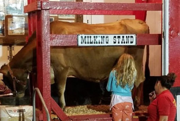 Learn how to milk a cow at the Orange County Fair Rodeo Stampede. Photo courtesy of the fair