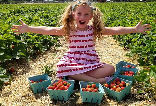 Pick baskets full of strawberries at Johnson's Corner Farm. Photo courtesy of the farm