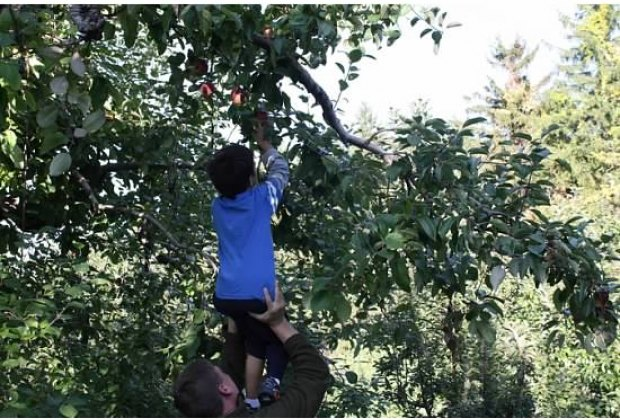 Apple picking at Ochs