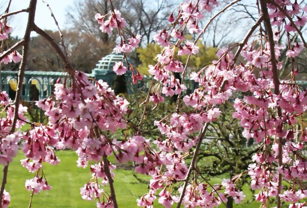 Cherry blossoms usher in the spring season at Old Westbury Gardens. Photo courtesy of the gardens