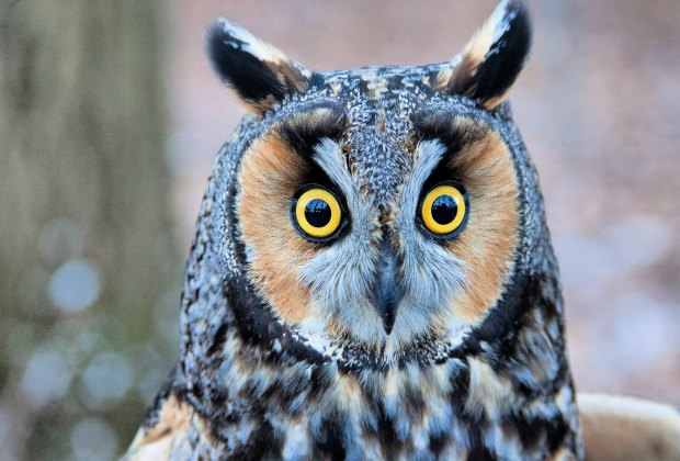 Meet the owls at the Blue Hills Trailside Museum's Owl Festival. Photo by Shawn P. Carey