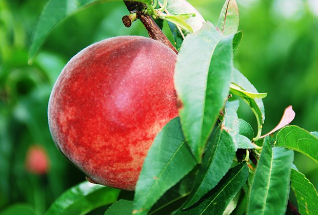Fresh-picked peaches are one of the greatest pleasures of summer. Courtesy of Alstede Farms