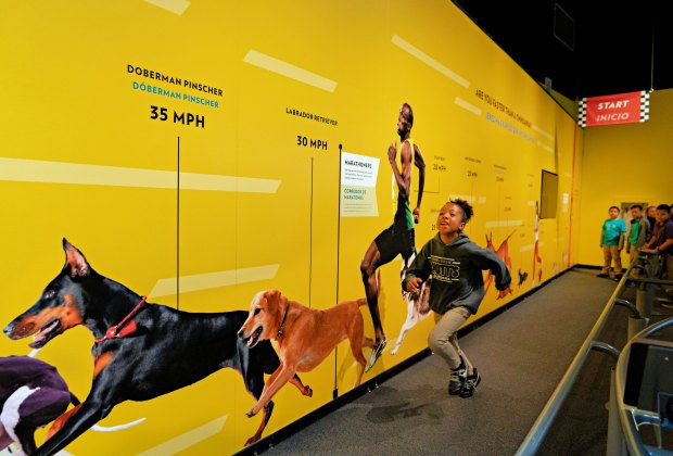 Can you run faster than a dog? Photo by Leroy Hamilton/California Science Center