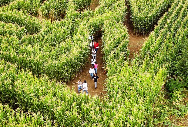 The Great Maize Maze is waiting to be explored at the Queens County Farm Museum. Photo courtesy of the museum