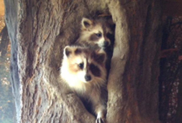 Raccoons in a life-cycle of trees exhibit