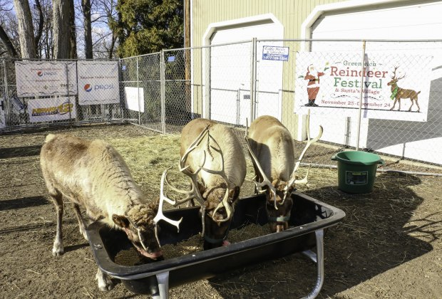 Meet a real life Rudolph! Image courtesy of the Greenwich Reindeer Festival