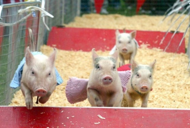 Pig races are among the old-fashioned highlights of the Richmond County Fair