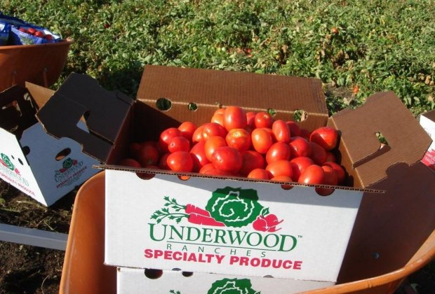 Pick your own Roma Tomatoes. Photo courtesy of Underwood Farms