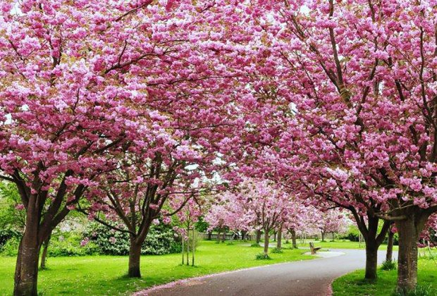 The Rotary Club of Peekskill hosts the 2nd Annual Cherry Blossom Festival. Photo courtesy of the rotary club