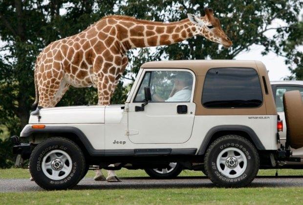 Six Flags Safari Drive-Thru Giraffe