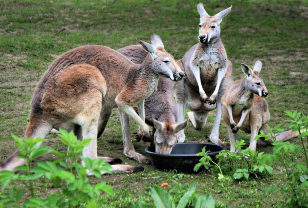 Find the joey at then Southwick Zoo's scavenger hunt. Photo courtesy of the zoo