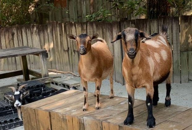 Goats at The Farmyard at Stone Mountain Park