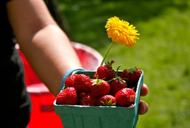 It's strawberry season, and Benner's Farm is celebrating this weekend. Photo courtesy of Benner's Farm
