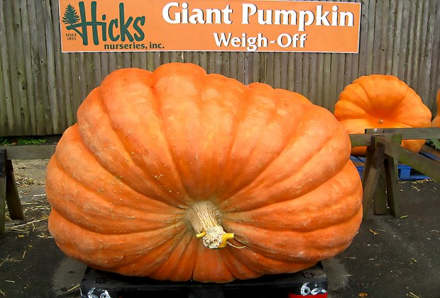The giant pumpkin weigh-off tips the scales this weekend at Hicks Nurseries. Photo courtesy of the nursery