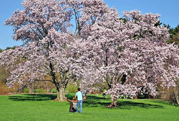 The arboretum is stroller friendly, both on grass and paved trails. Photo courtesy of Arnold Arboretum