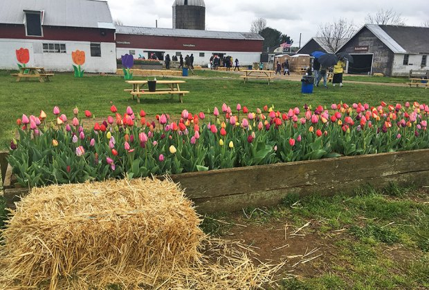 Tulips and picnic tables at Holland Ridge Farms