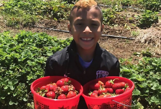 Collect buckets of berries at Van Thun Farms' Strawberry Festival. Photo courtesy of the farm