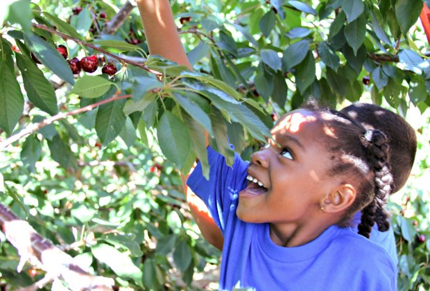 No one ever went hungry picking cherries. Photo courtesy of Villa del Sol